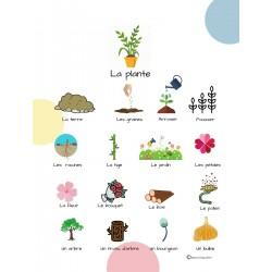 Imagier- La plante