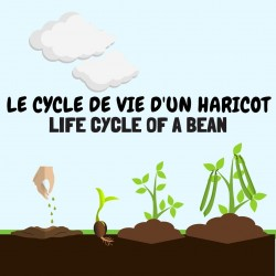 Le cycle de vie d'un haricot