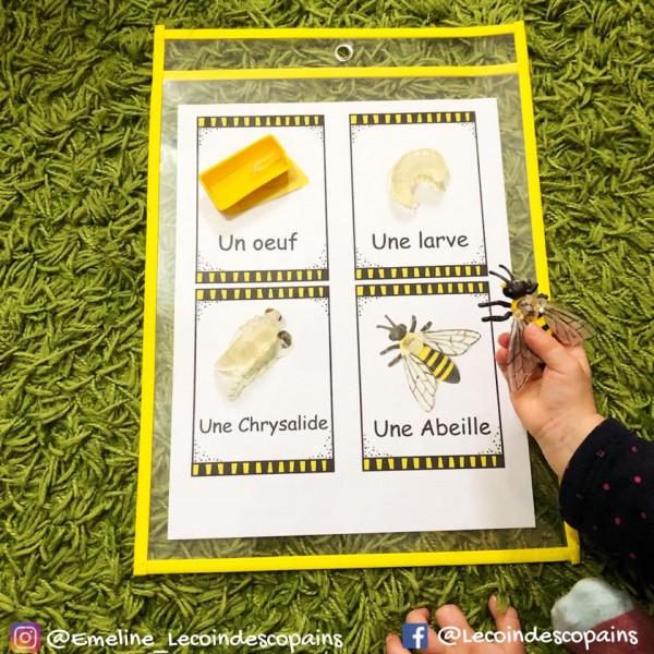 cycle de vie de l'abeille