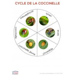 Cycle de vie de la coccinelle