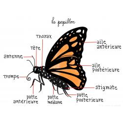 Cycle de vie du papillon - ILLUSTRATIONS