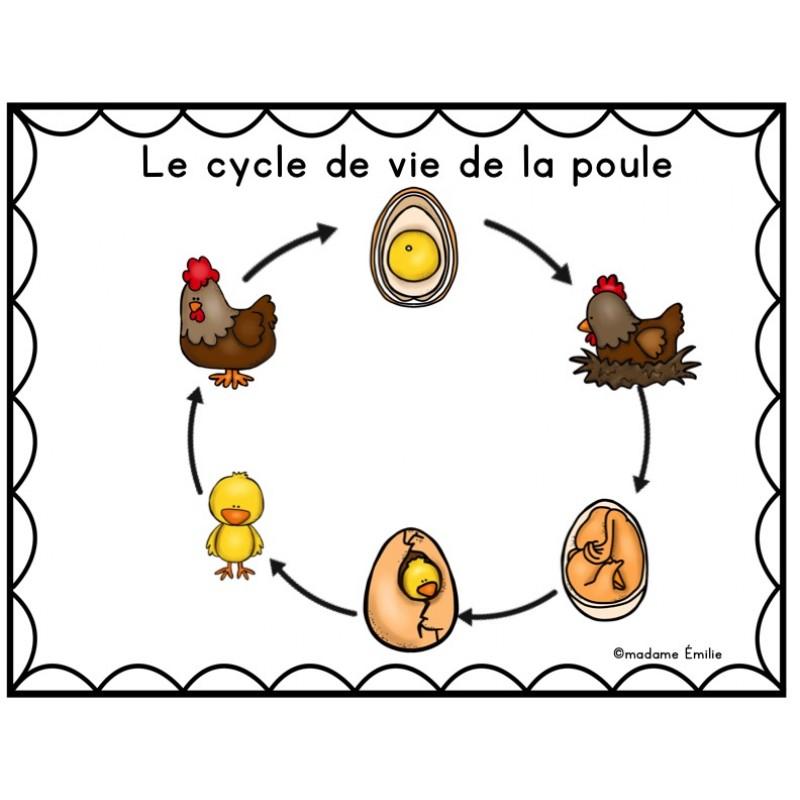 Cycle de vie la poule - Image de la poule ...