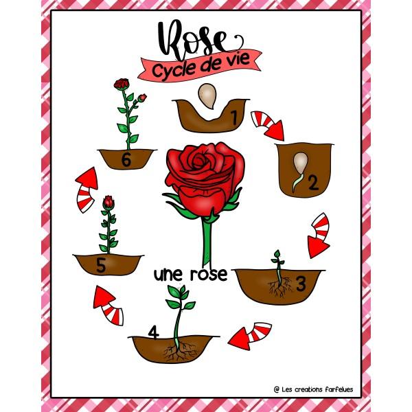 Le cycle de vie d'une rose
